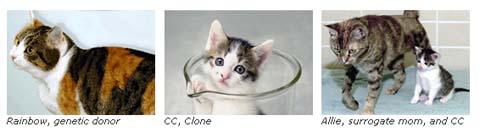 三毛猫のクローン